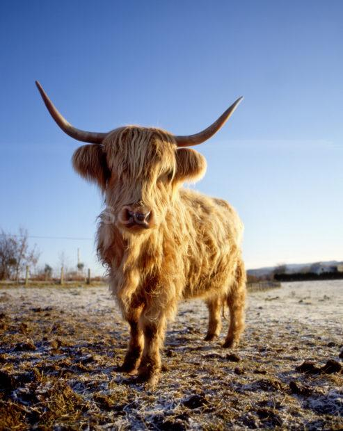 Highland Cow In Winter West Highlands