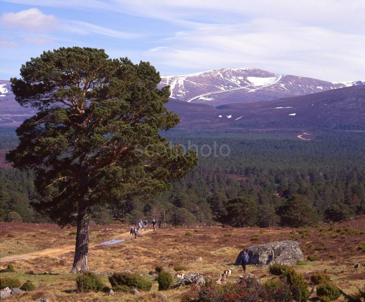 Rothiemurchus Forest Towards Lairig Ghru Pass From Tullochgrue Near Glen More Cairngorms