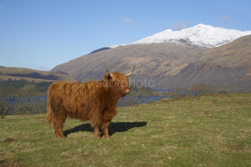 WY3Q7810 Highland Cow And Ben Cruachan