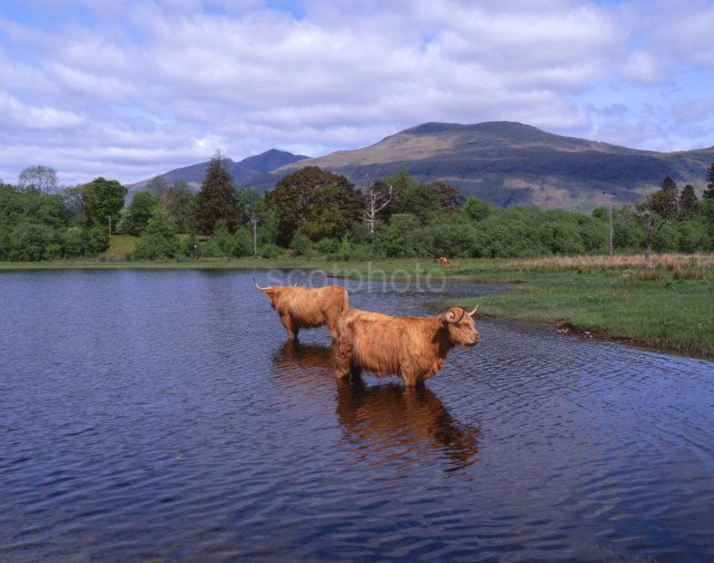 Highlands Cows Cooling Off In Loch Awe With Ben Cruachan In View Cladich