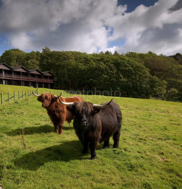 Highland Cows And Cedar Wing