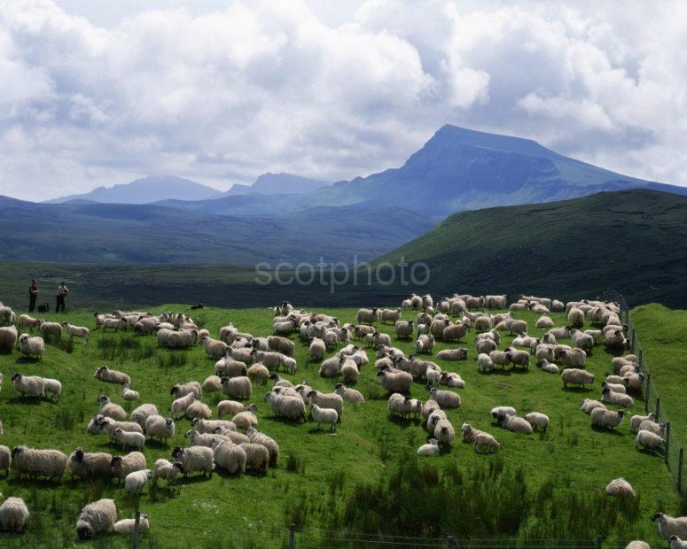 Gathering The Sheep Near Staffin Trotternish Skye