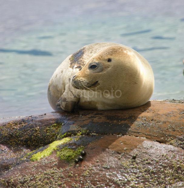 I5D8450 Close Up Of Seal Pup Arran