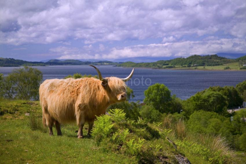 WY3Q9951 Highland Cow With Loch Creran