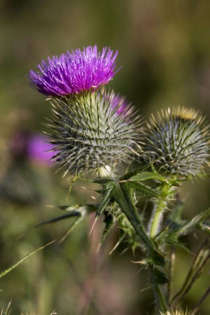 I5D8563 Scots Thistle Loch Etiveside