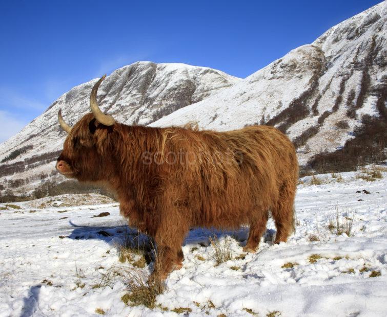 Highland Cow Glen Nevis Lochaber