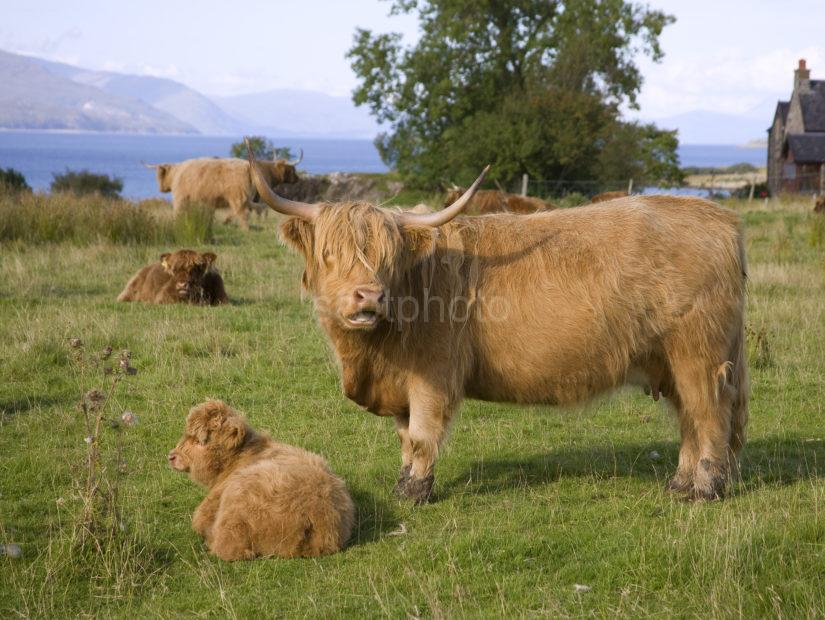 I5D0008 Highland Cows Duart Point Mull