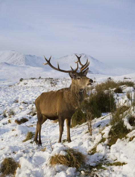 Y3Q9931 Winter Stag A Great New Shot