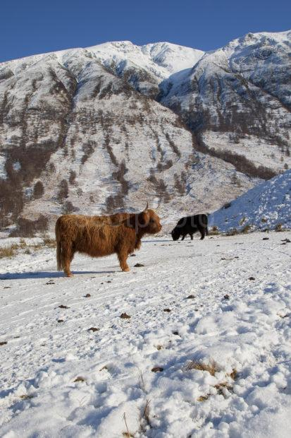 Highland Cows In Glen Nevis