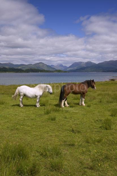 Two Horses Loch Creran Portrait