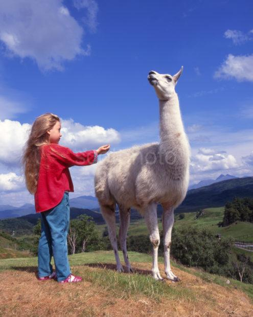 Young Girl Meets Lama At A Scottish Rare Breeds Park
