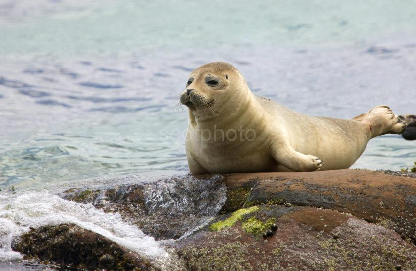 I5D8448 Lovely Pic Of Seal Pup Brodick Bay Arran
