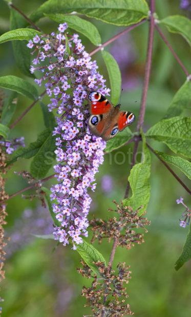 Two Peacock Butterflys On Buddleia