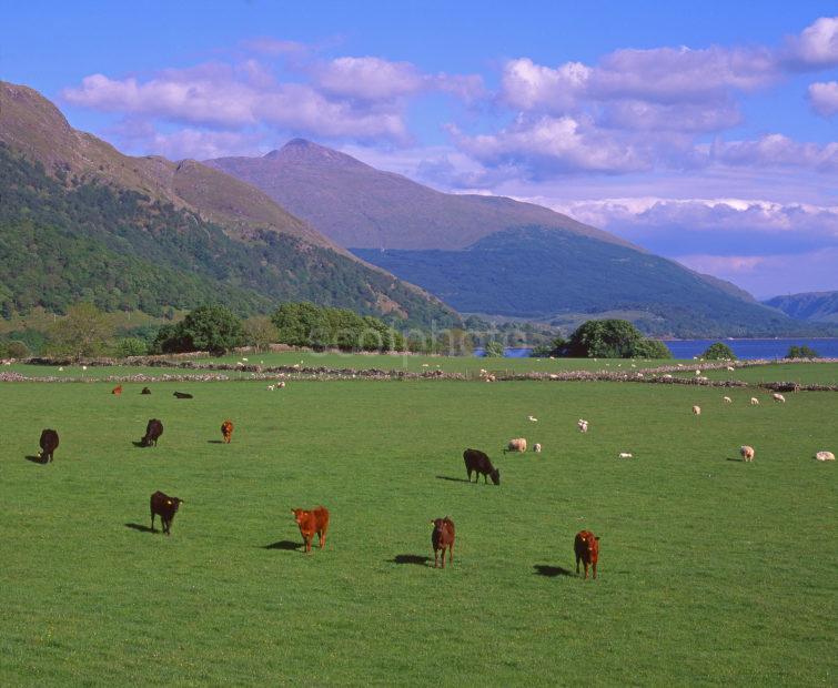 Summer View Across Loch Etive Towards Ben Cruachan Loch Etive Argyll
