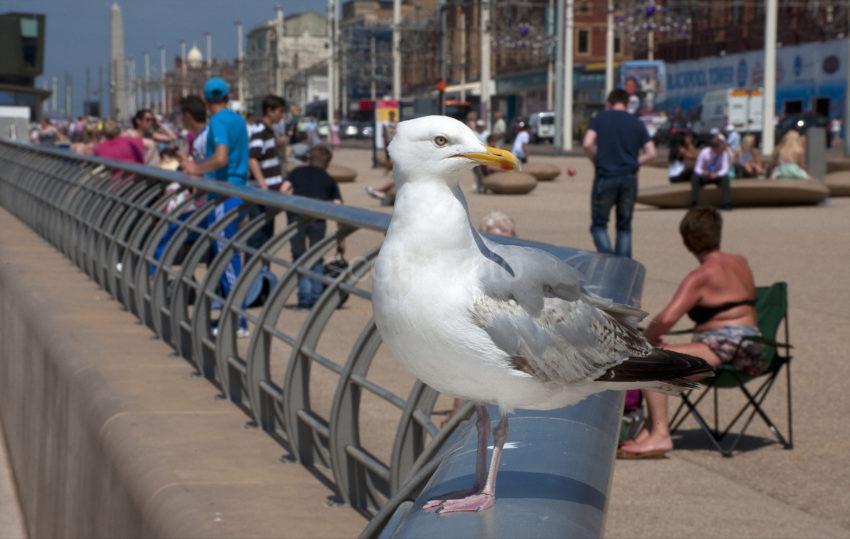 Seagull Blackpool