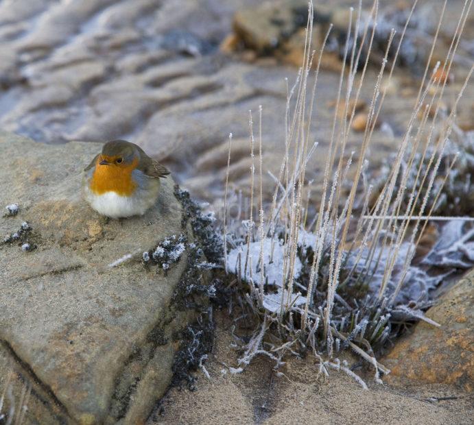 Y3Q9857 Robin On Shore Loch Sheil
