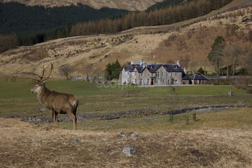 Stag With Dalness House Glen Etive