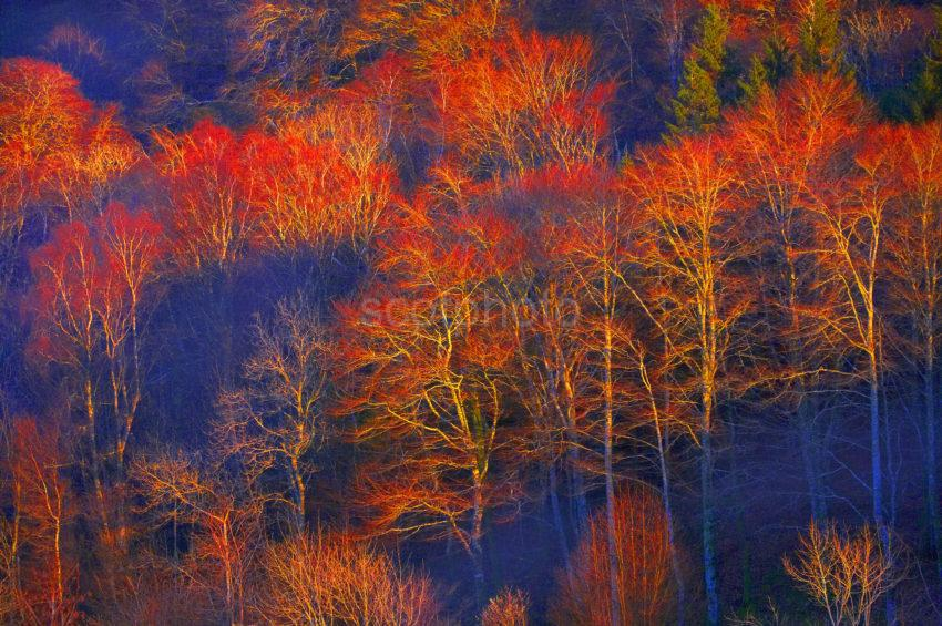 WY3Q7355 Trees Bathed In Evening Sun Autumn In Argyll