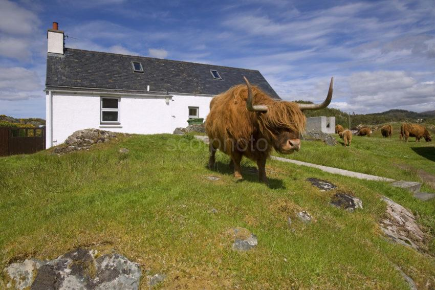 WY3Q7369 Highland Cow