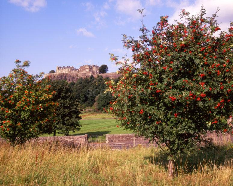 Autumn View Of Stirling Castle Rowan Trees
