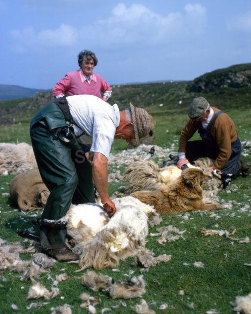 Sheep Shearing At Milovaig On The Isle Of Skye
