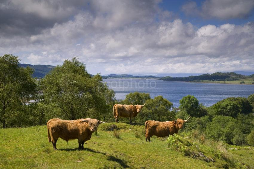 Highland Cattle On Estate With Views