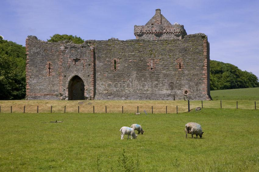 Skipness Castle With Sheep Grazing