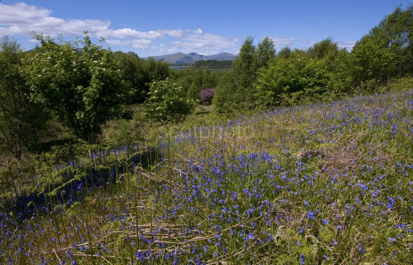 DSC 4882 BLUEBELLS OF SCOTLAND LOOKING WEST FROM ERISKA 2015 SMALL