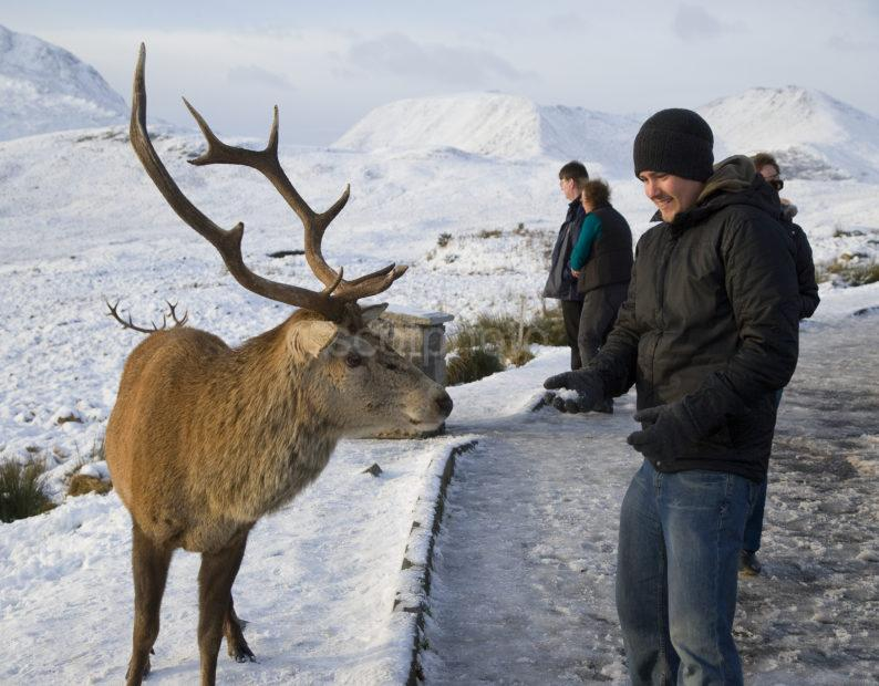 Y3Q9918 Tourist Interact With Wild Stag Rannoch Moor