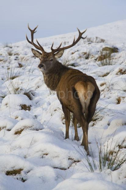 Y3Q9942 Winter Stag From Rear