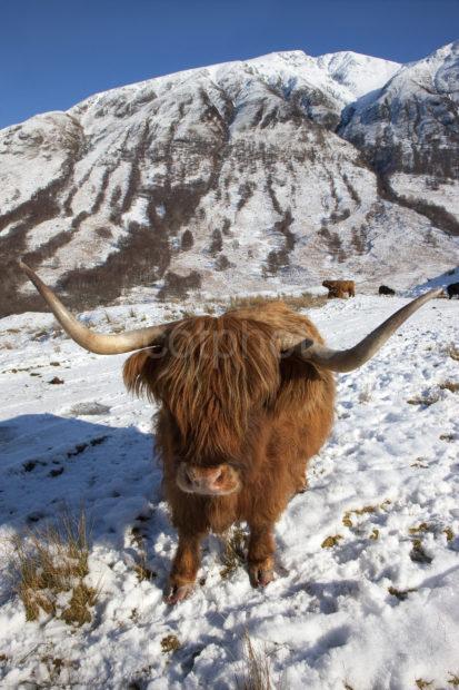 Highland Cow Glen Nevis