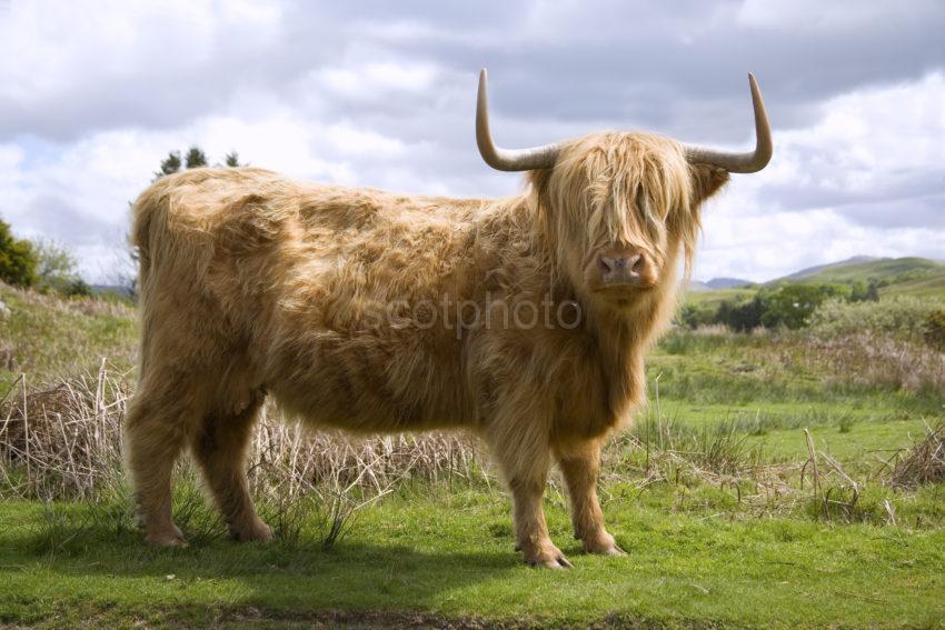 WY3Q7551 Highland Cow Argyll