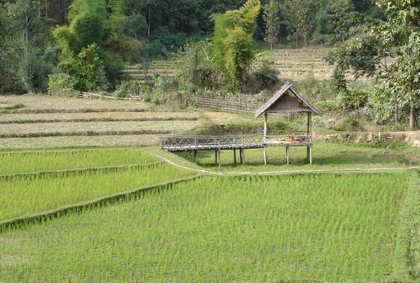 rice paddy Thailand northen