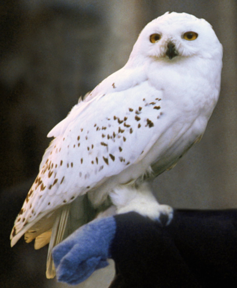 Harry Potter's animal companion Hedwig.