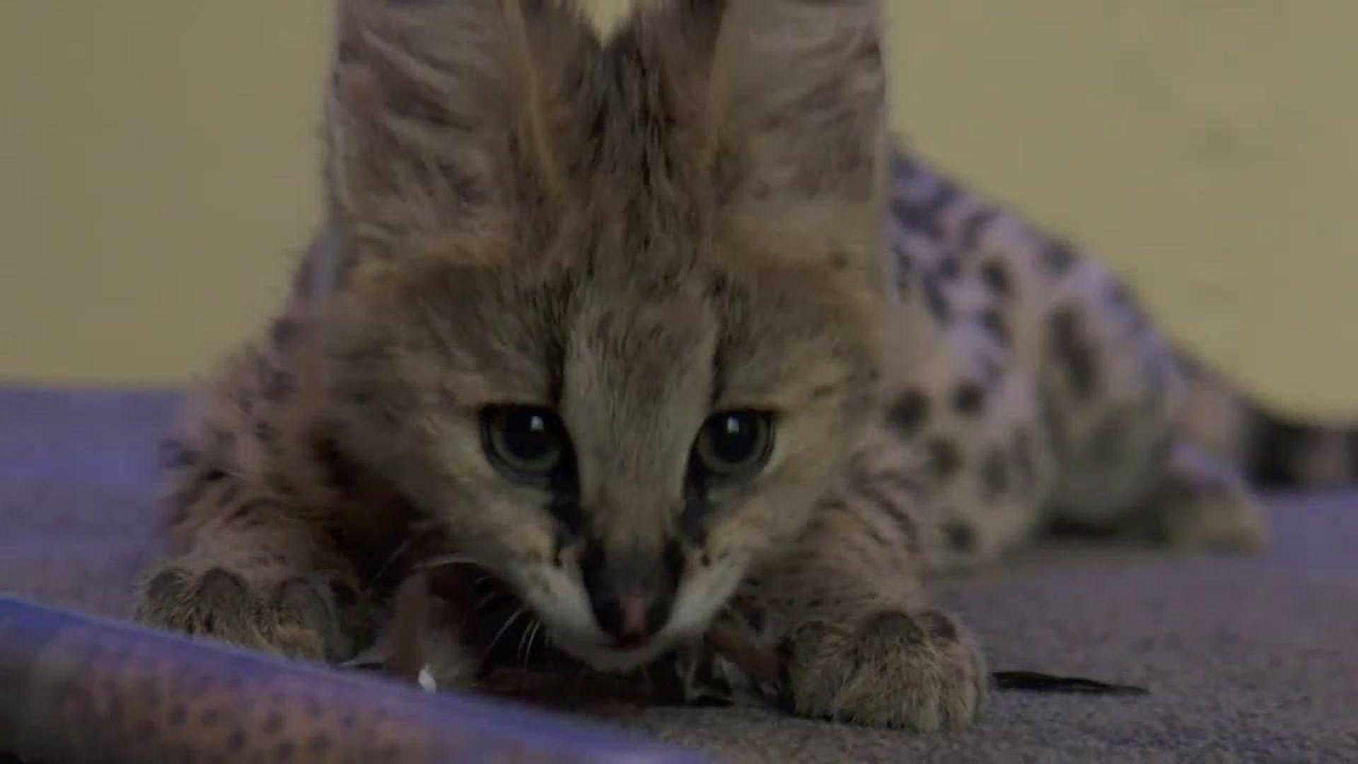 Ocelot kitten on the zen Netflix's 72 Cutest Animals