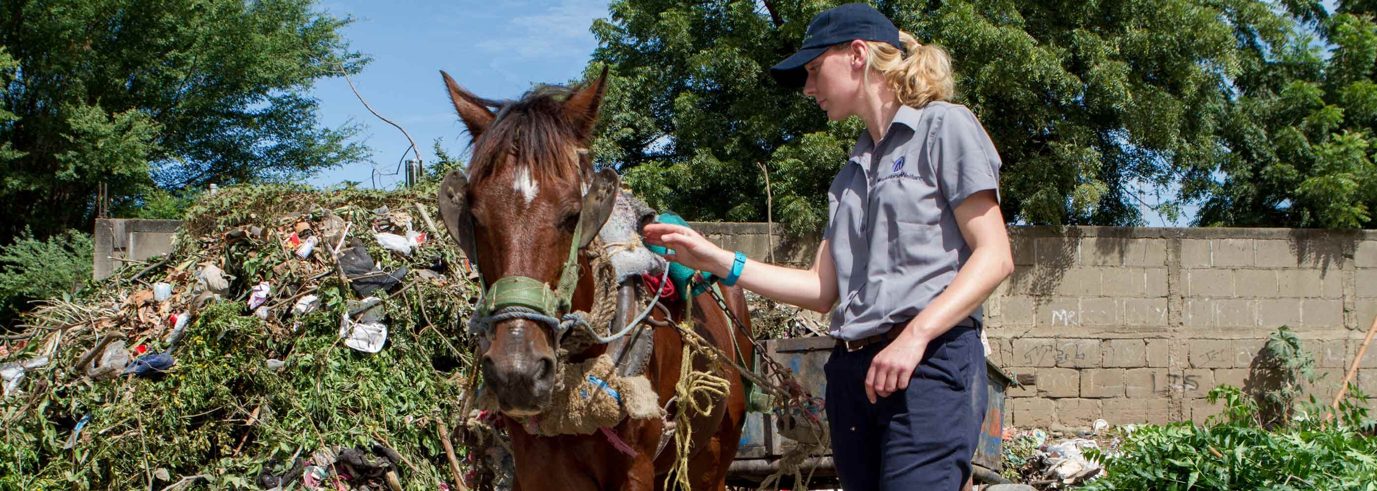World Horse Welfare International Officer checking bay horse horse with poorly fitting harness