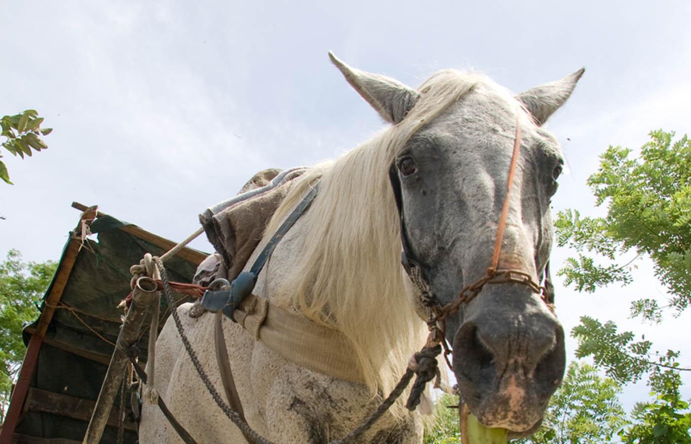 Helping working horses in Honduras