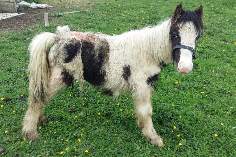 Pony rescued after skin 'eaten alive' by maggot infestation