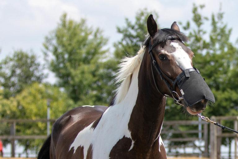 Headshaking in horses