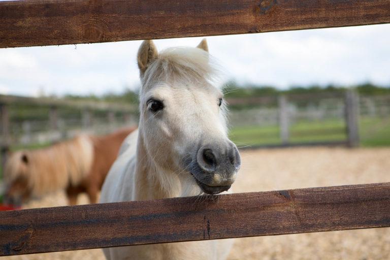 Petite rescue pony Pamela gets set for Land Rover Burghley Horse Trials 2017
