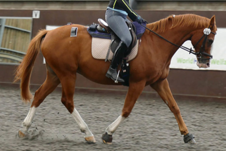 Landmark study addresses effects of rider weight on equine performance