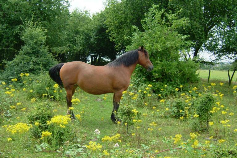 Ragwort and horses