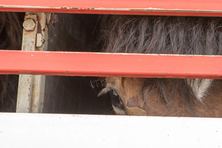 End the long-distance transportation of horses across Europe for slaughter