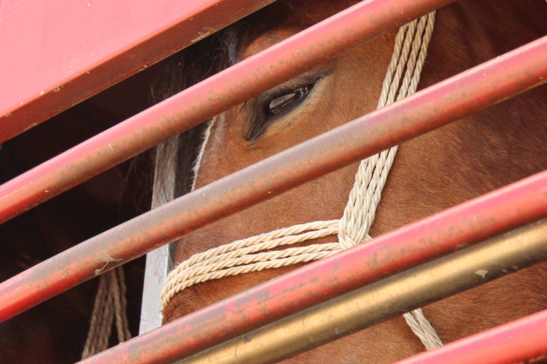 World Horse Welfare welcomes scientists' report on transportation