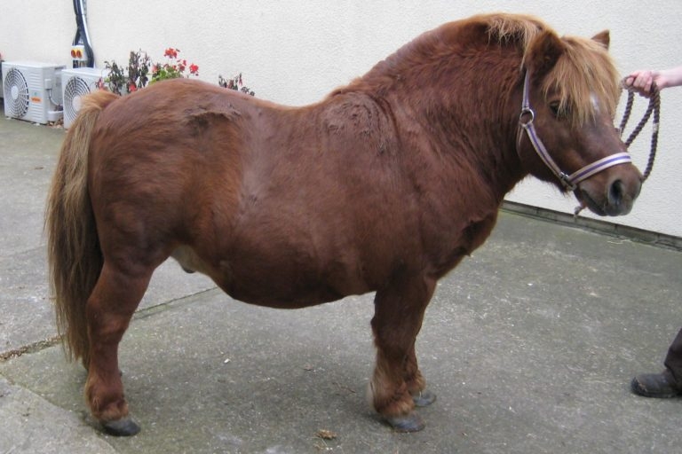 Horse owners fail to recognise dangers of obesity