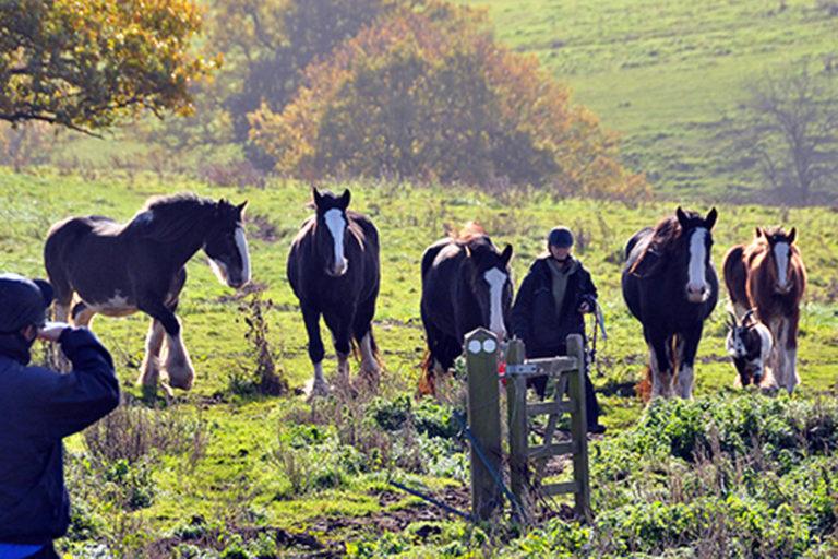 Nineteen fly-grazed Shire horses rescued from Kidderminster