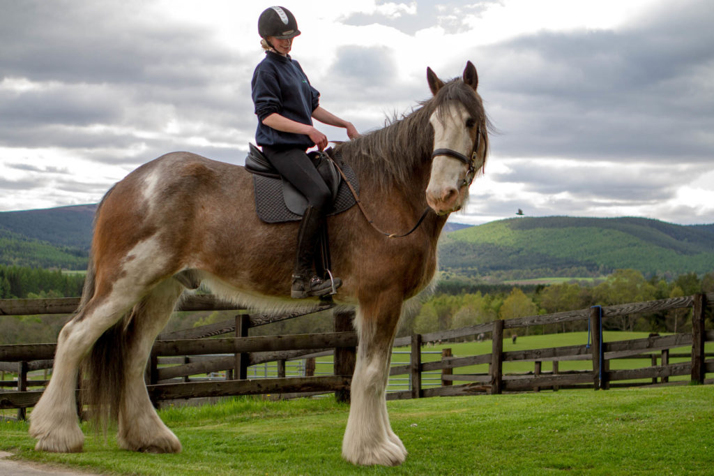 19hh Clydesdale Digger tacked up with a World Horse Welfare groom riding him