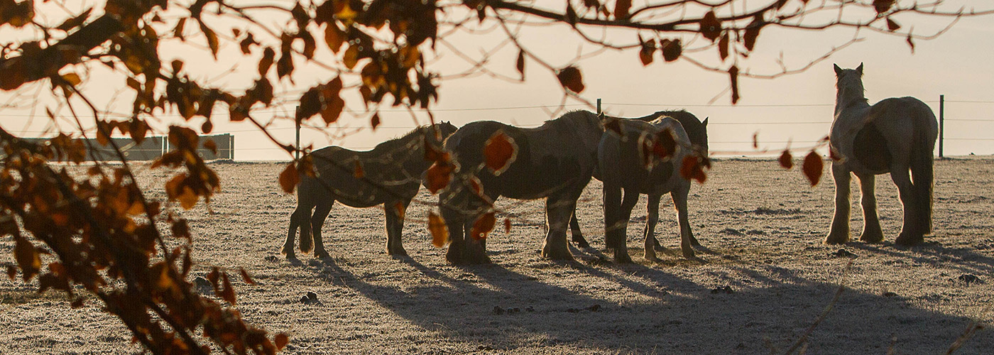 Group of horses standing dozing by a tree in a field on a frosty morning