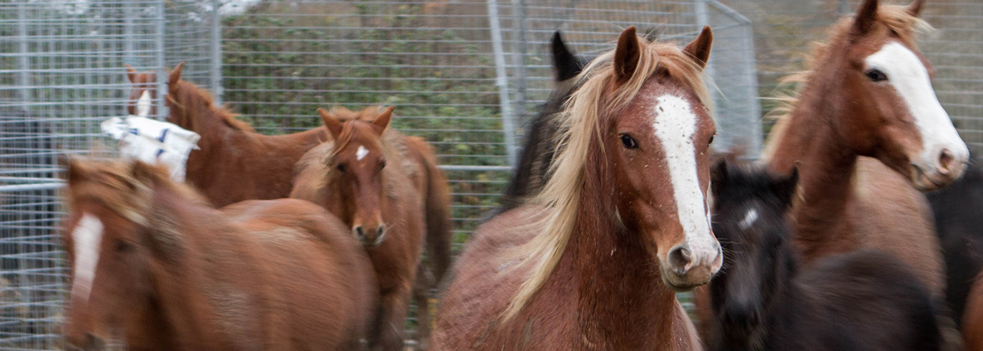 Group of chestnut and black horses standing in a temporary metal holding pen in a muddy field