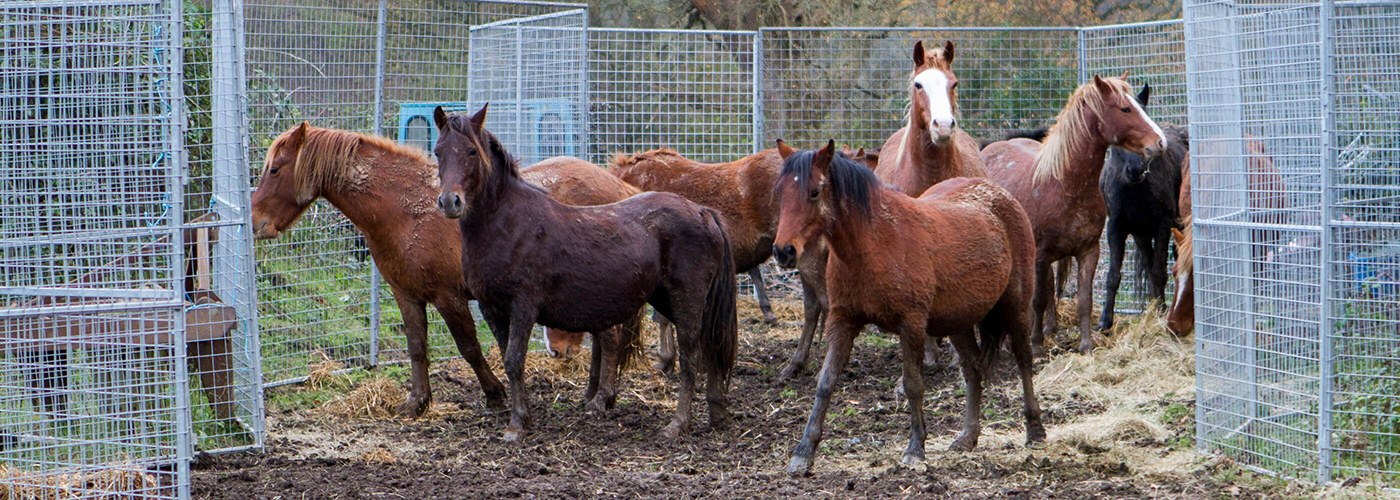 Group of chestnut and brown horses standing in a temporary metal holding pen in a muddy field